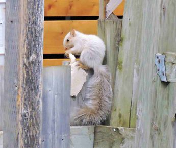 Écureuil blanc..white leucemic squirrel © 2016 nicole leduc